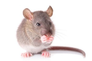 mouse isolated against white background